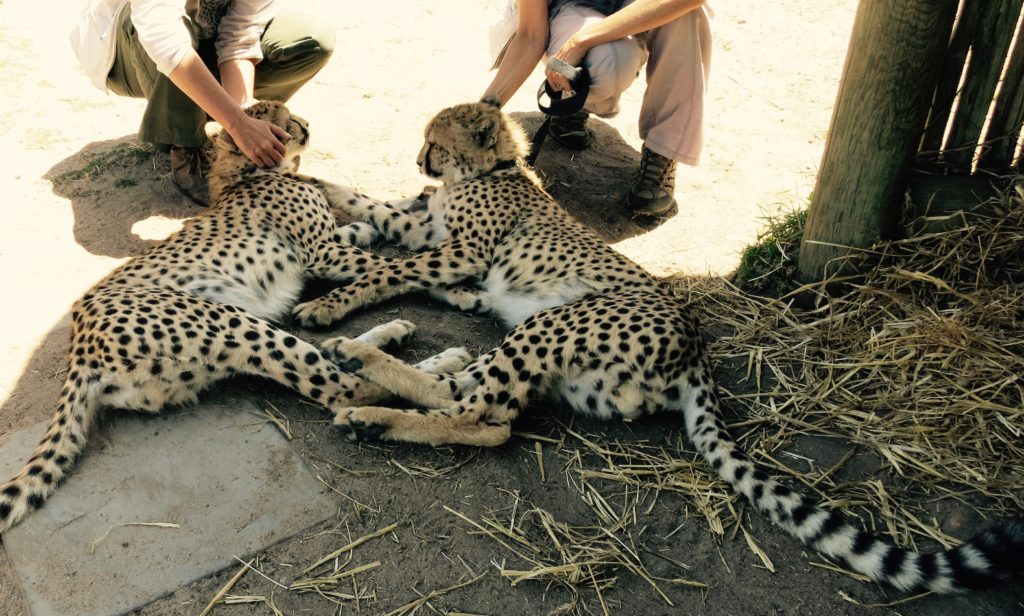 Cheetah Outreach Besuch...Geparden hautnah