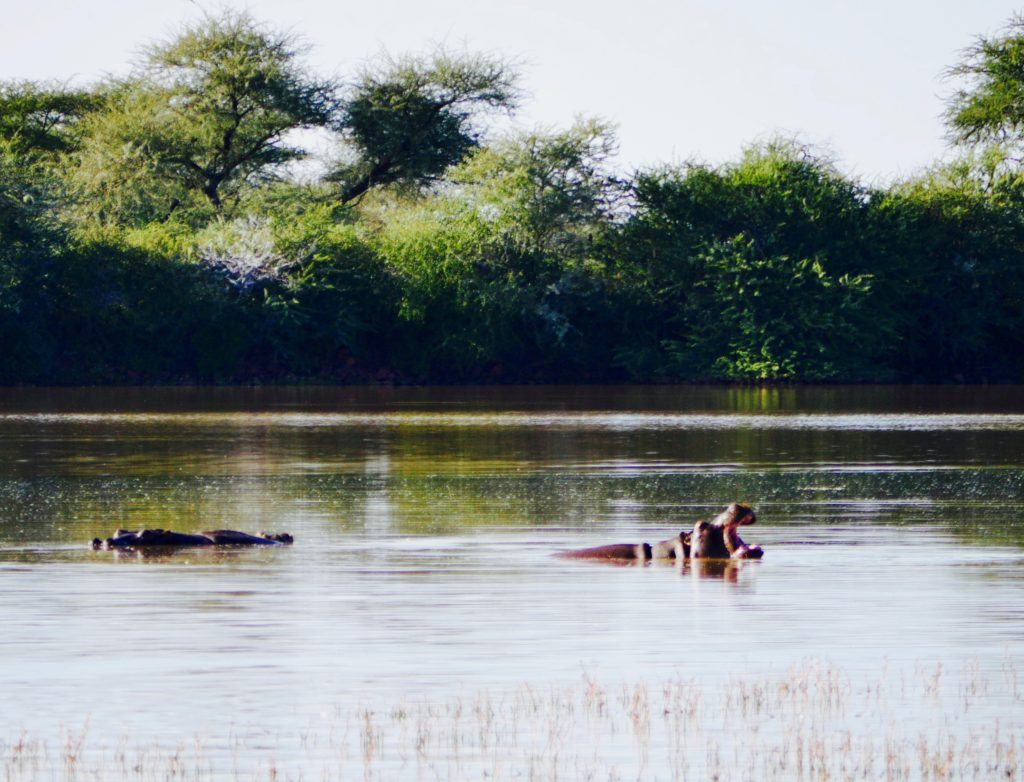 Hippos in der Mount Etjo Safari Lodge