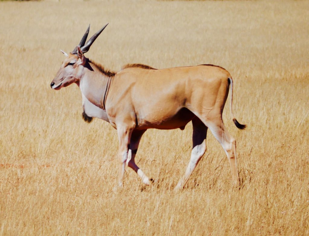 Elanantilope in der Bagatelle Kalahari Game Ranch